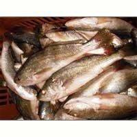 Silver Croaker Fish