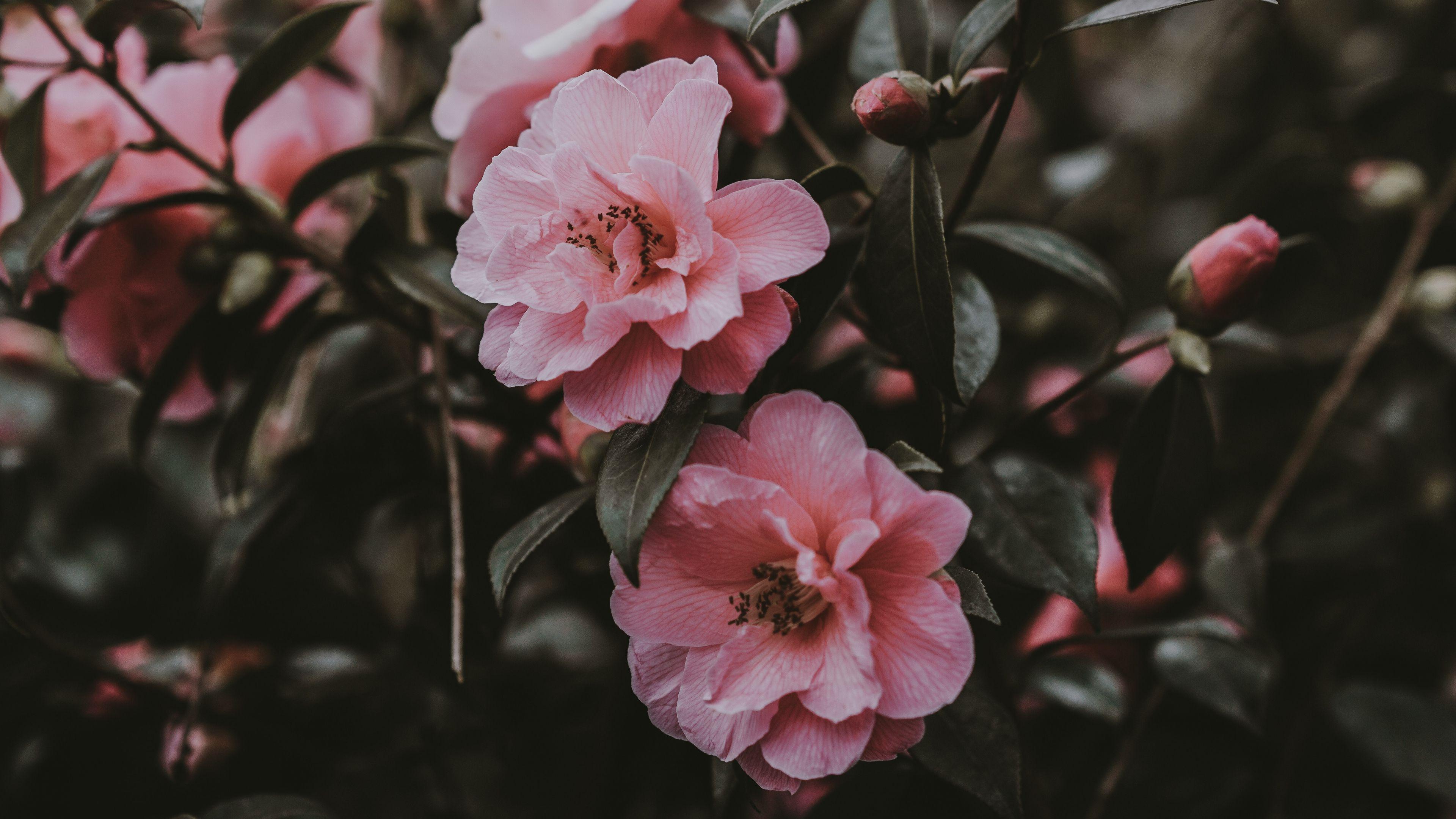 3840x2160 Wallpaper wild rose, bush, pink, flowers