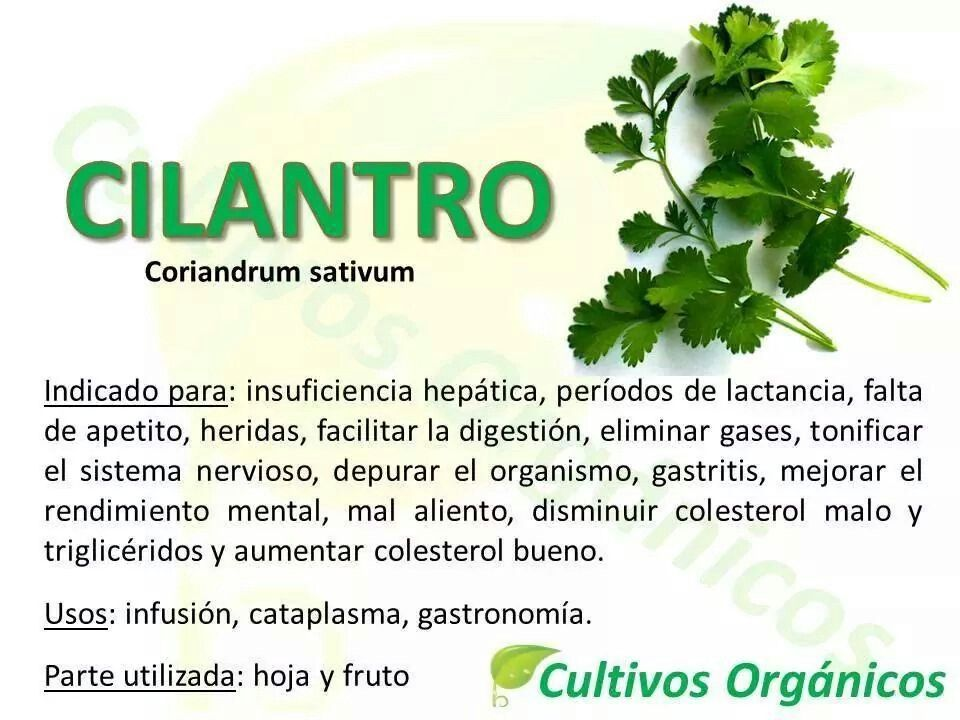Beneficios Del Cilantro Frutas Y Vegetales Periodo De
