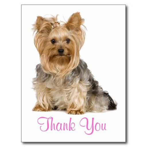 Thank You Yorkshire Terrier Puppy Dog Postcard Zazzle Com In 2020 Yorkshire Terrier Puppies Yorkshire Terrier Yorkshire Terrier Dog