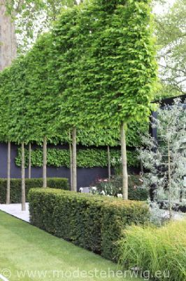 leibomen haagbeuk google zoeken pleached trees i love this style pinterest abschottung. Black Bedroom Furniture Sets. Home Design Ideas