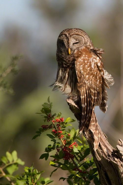 (via 500px / Sleepy Head - barred owl by Ron Bielefeld)