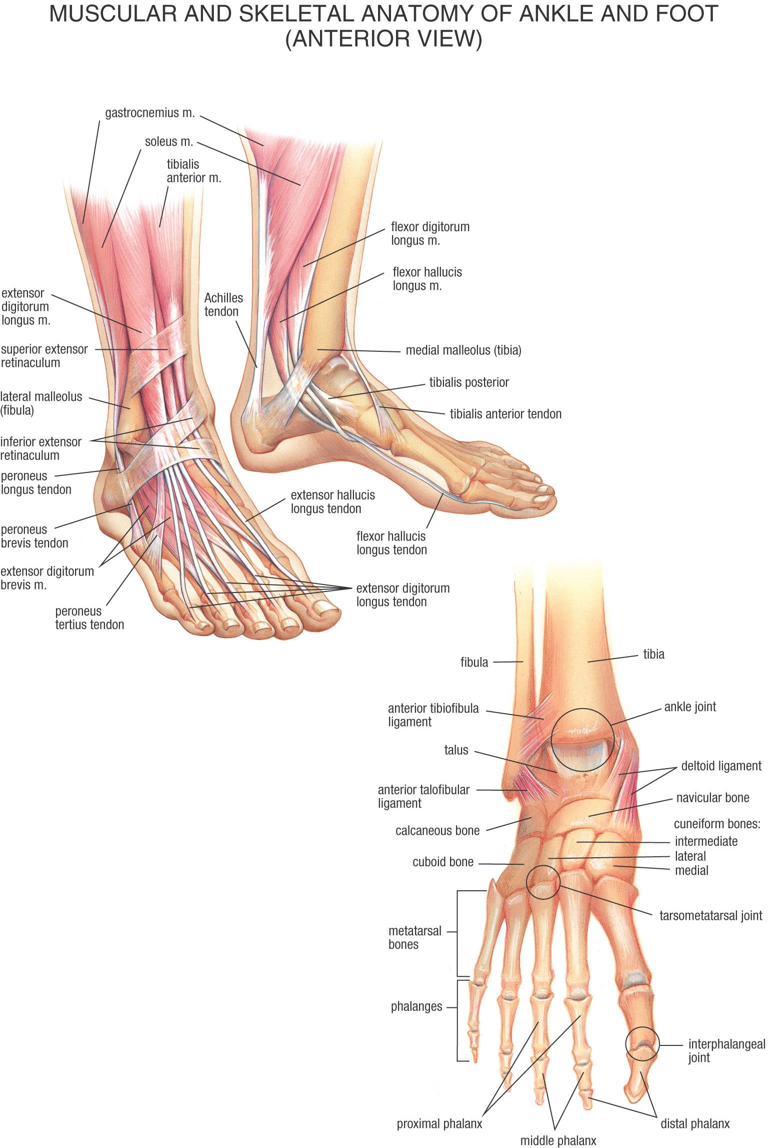 foot anatomy muscular and skeletal anatomy of ankle and foot