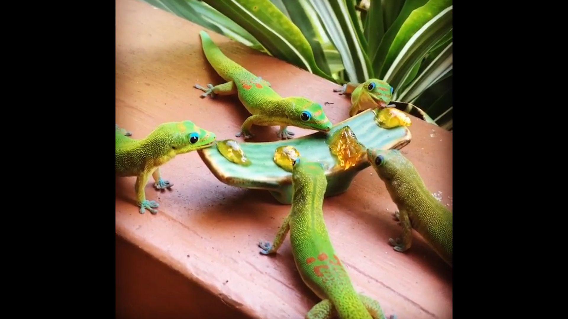 Hawaiian Geckos Enjoy Guava Jelly Breakfast Video Ktc Hawaiian Cute Gecko Gecko Animals