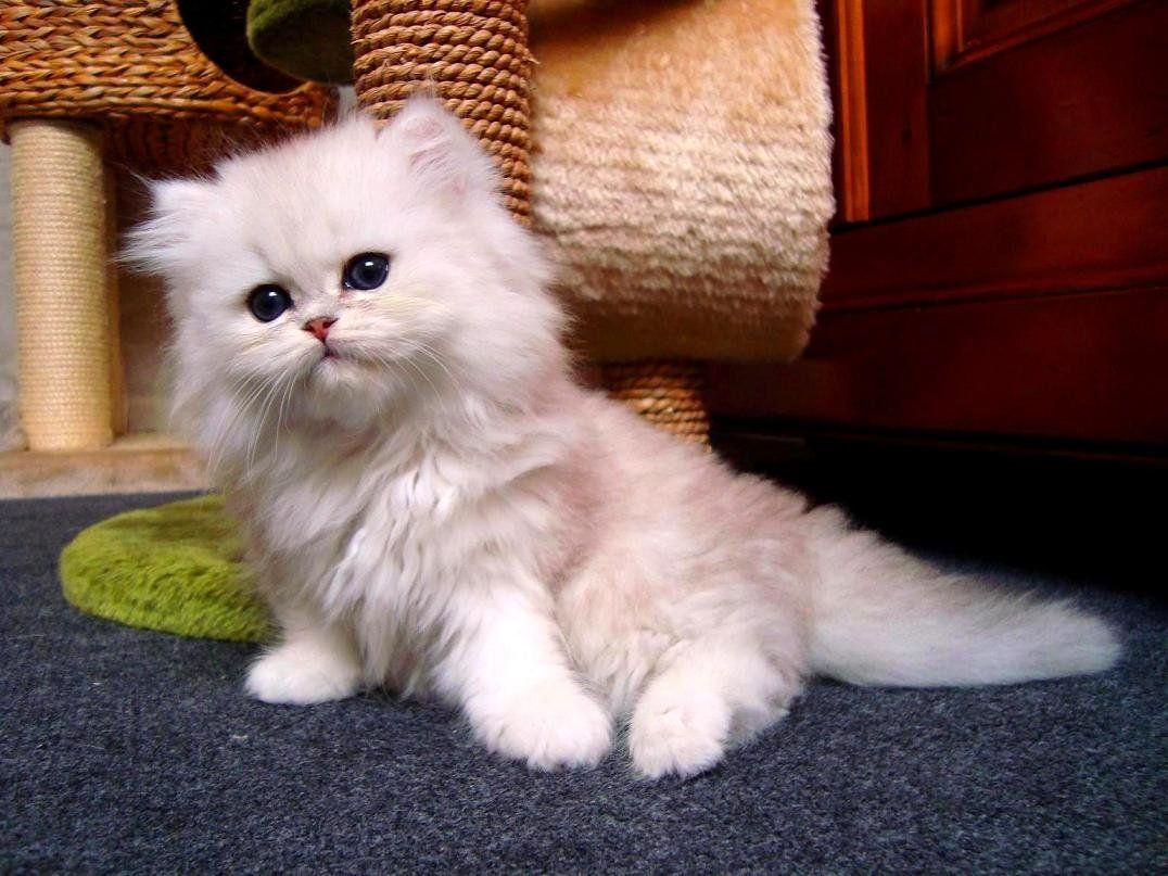 หาบ านให ล กแมวเปอร เซ ยหน าบ เพศเม ย ส ขาวคร ม ขายแมว แมวเปอร เซ ย ราคาโดนๆค บ ฟาร มแมวเช ยงใหม ด ล กแมวต วอ นเพ มเต มได ท เพจ Www Face แมวเปอร เซ ย แมว