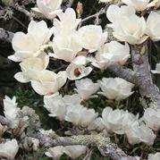 Gran Plant Design: Rosa Banksiae un bajo mantenimiento Belleza