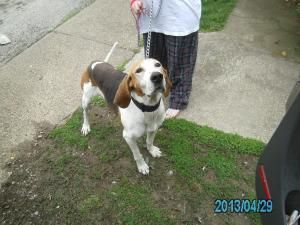 #OHIO #URGENT ~ Bernard is a 5-6y/o 80lb #adoptable Coonhound dog in #WestUnion - A very friendly owner surrender & is available now for immediate #rescue or #adoption into a loving home. Come meet this tail-wagger at ADAMS COUNTY DOG POUND    11260 St Rt. 41    #WestUnion OH 45693  pbhugh68@yahoo.com    Ph 937-544-2431