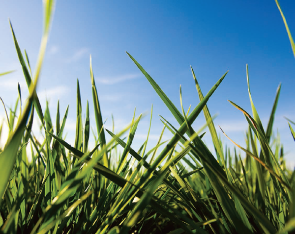 Fescue remains an important forage crop for agricultural