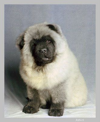 Blue Chow Chow Taibo 10 000 Chow Chow With Images Fluffy