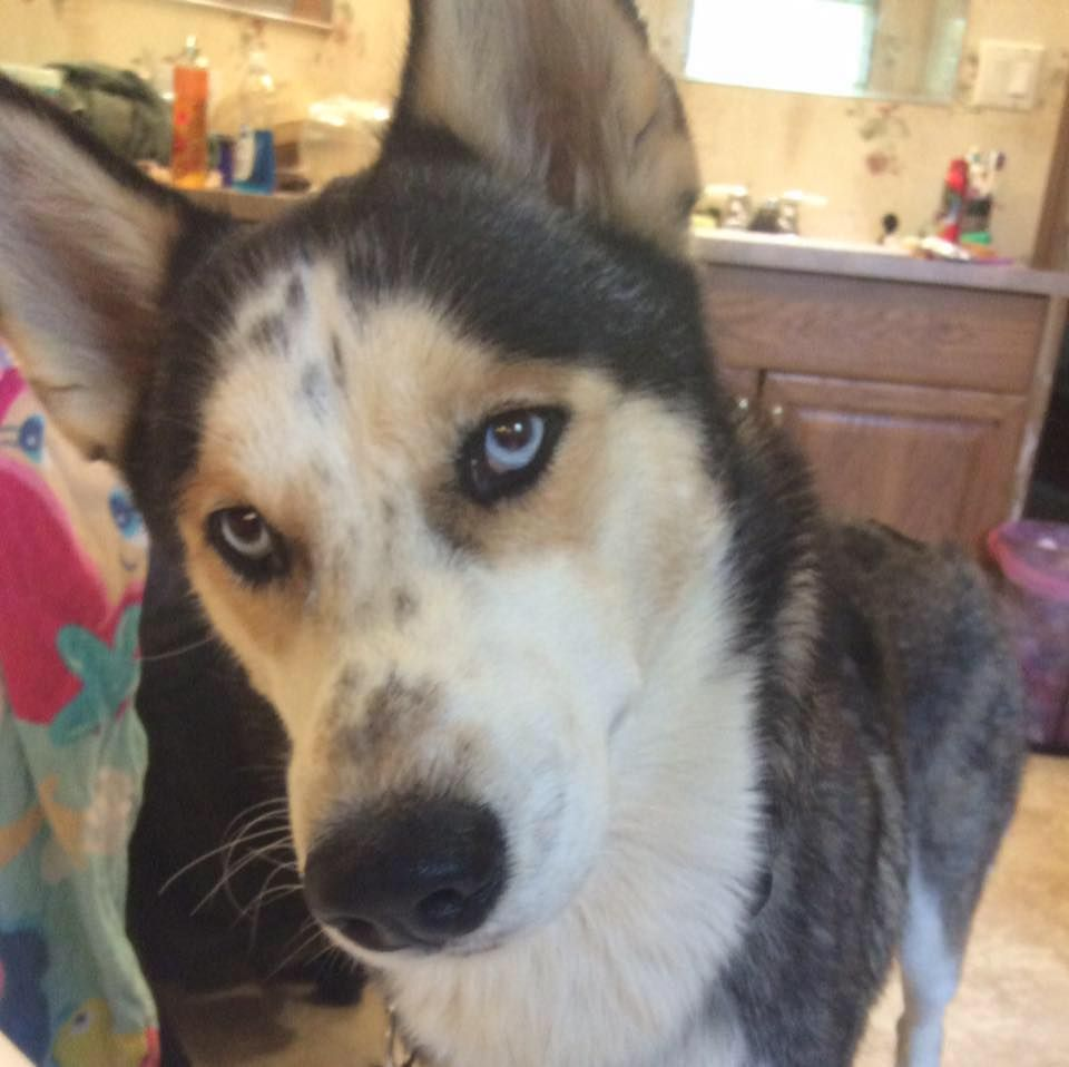 Lost Dog Siberian Husky Rome Ga United States Dogs Lost In