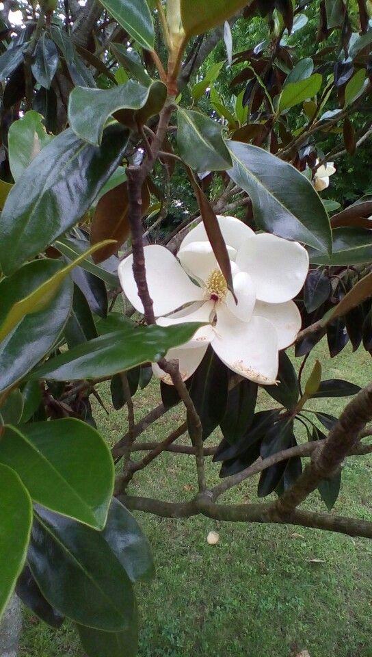 Beautiful magnolia tree flower.
