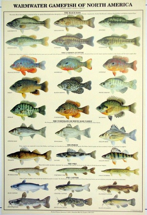 Aninimal Book: images freshwater fish | freshwater game fish hf67 $ 30 by ...