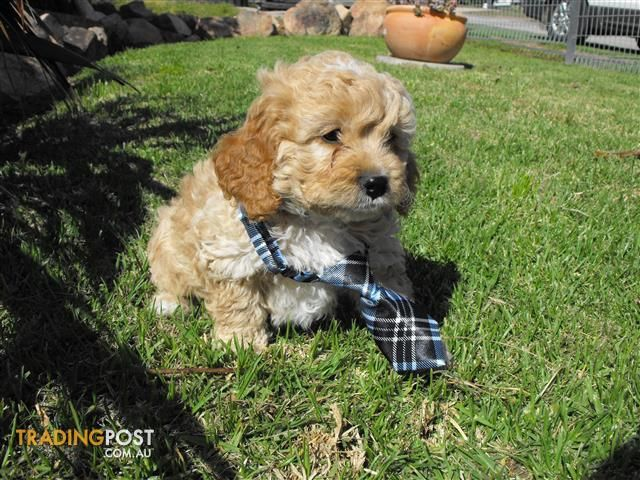 Cavoodle Puppies For Sale In Bairnsdale Vic Cavoodle Puppies
