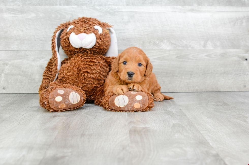 Mini Goldendoodle Puppies for Sale Mini goldendoodle