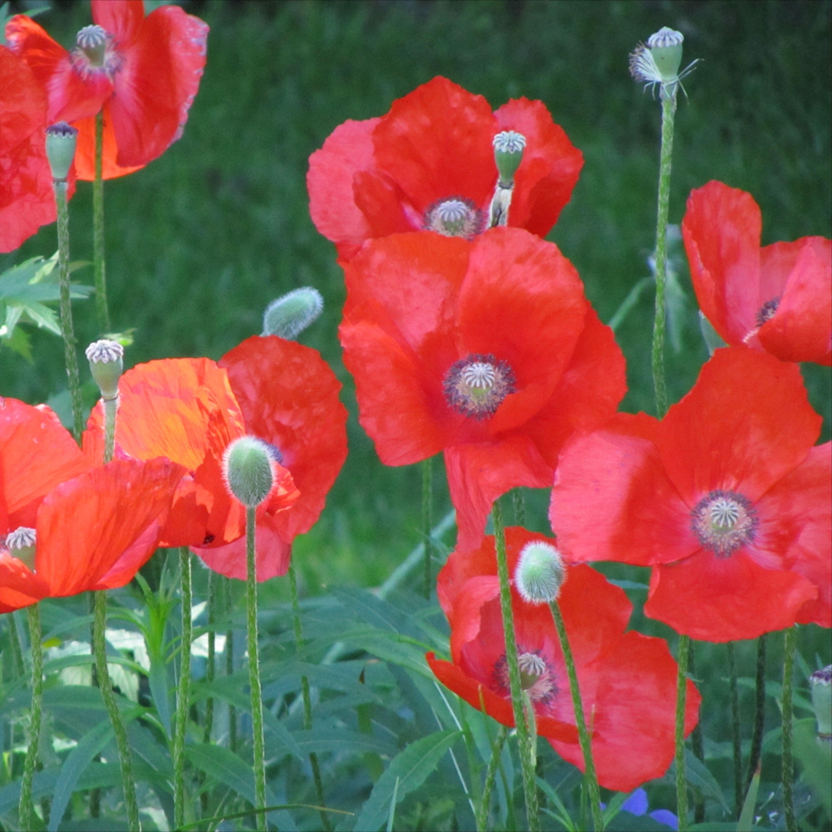 Die Bildschone Mohnblume In 2020 Zierpflanzen Pflanzen Mohn