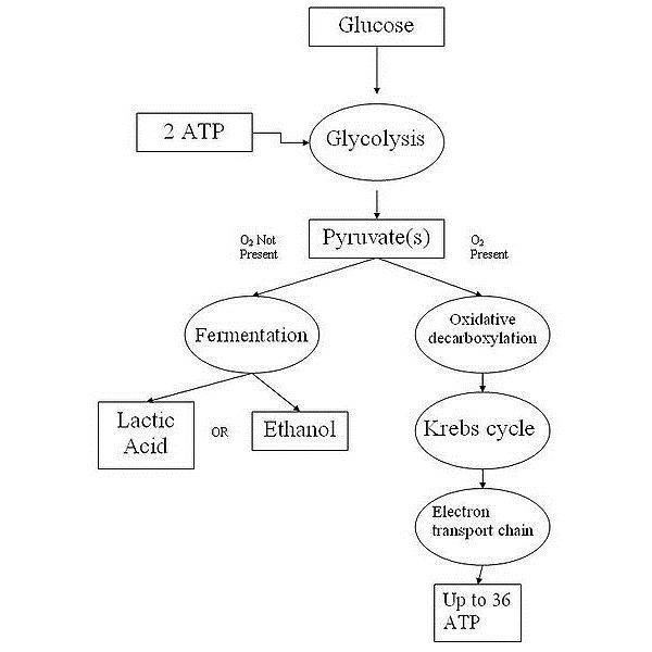 A Comparison Of Photosynthesis And Cellular Respiration How
