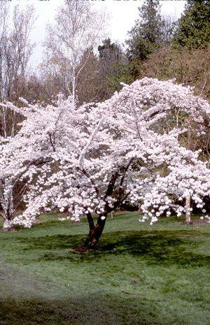 Yoshino Flowering Cherry Yoshino Cherry Tree French Country Garden Tree Of Life Artwork