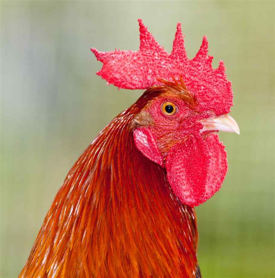 rooster photography - Google Search