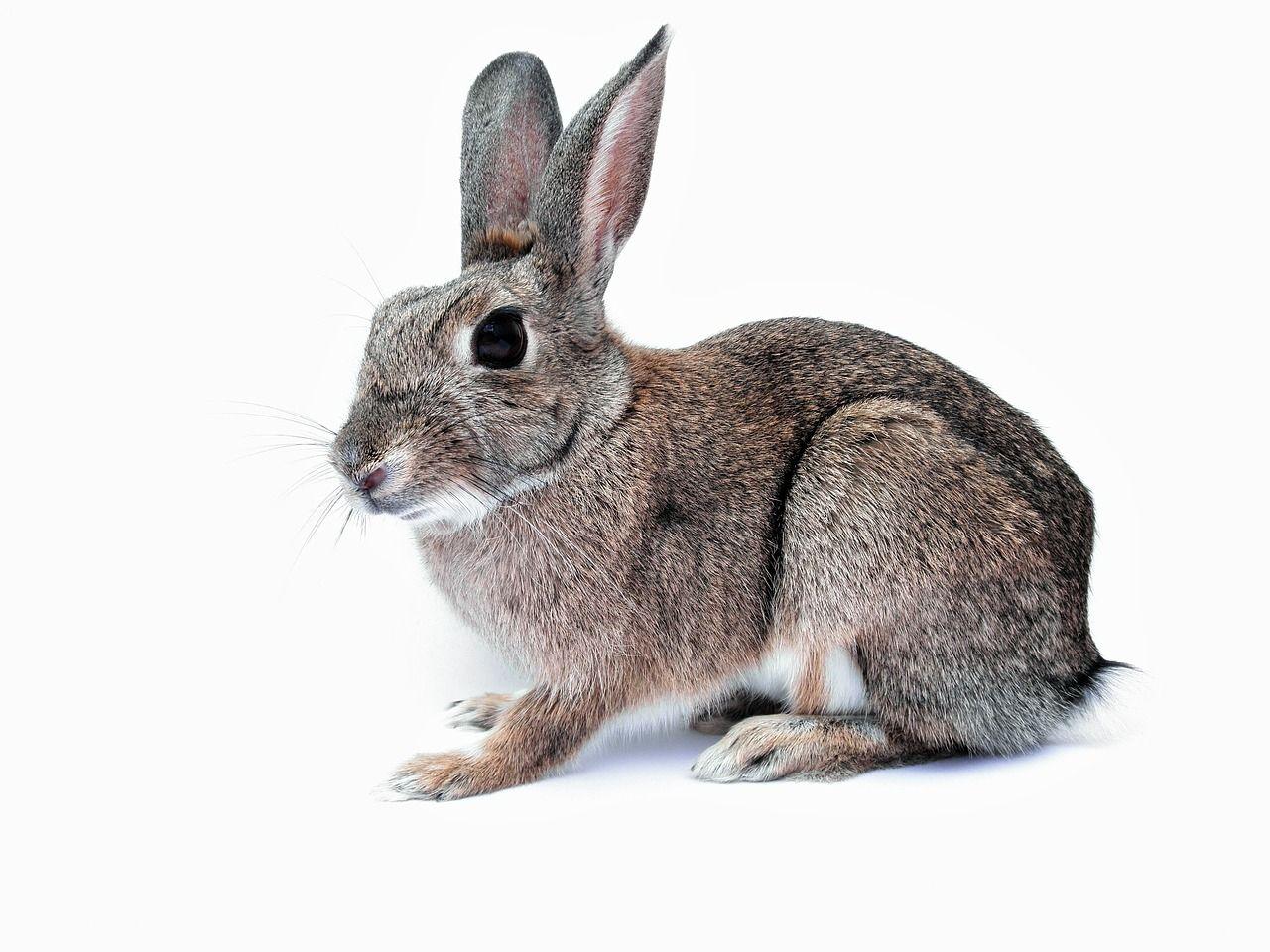 Free Image on Pixabay Rabbit, Bunny, Pet, Cute, Isolated
