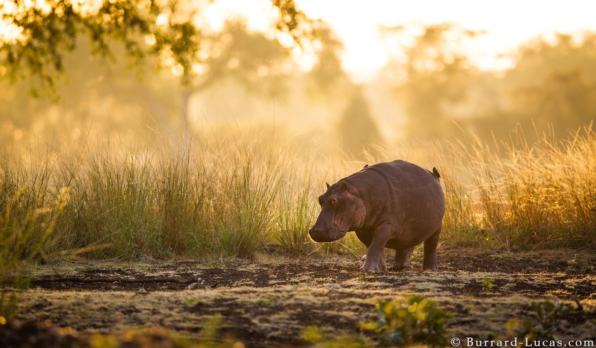 Sunrise in South Luangwa. This hippo was returning to the river after a night of feeding.