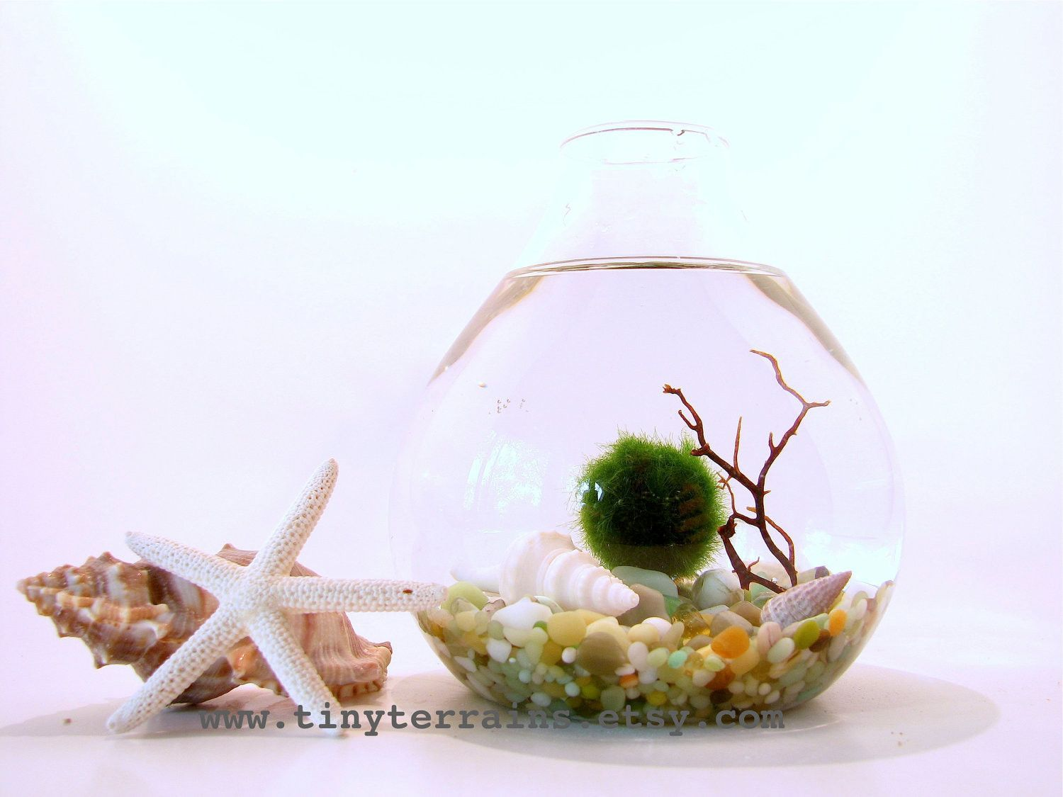 FREE 2nd Marimo Ball included: Marimo Moss Ball Teardrop Aquarium / Terrarium - Several colors available