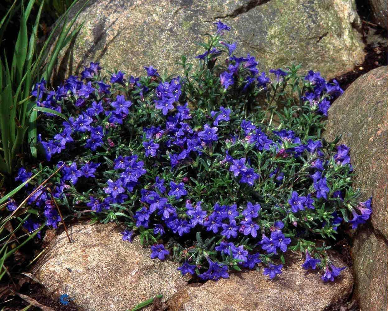 Lithodora Are Evergreen Shrubs Or Sub With 5 Lobed Blue White