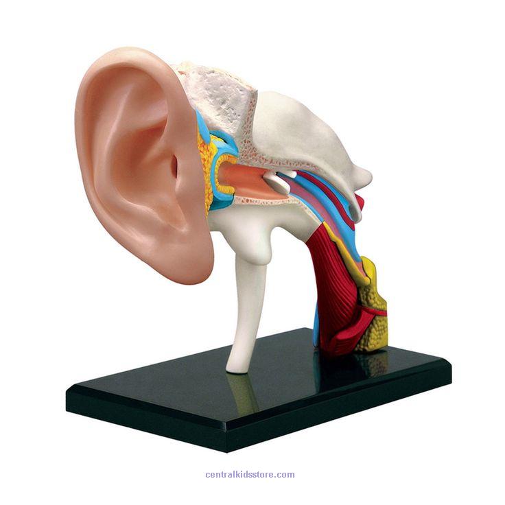 Tedco Toys Kids Classroom Ear Anatomy Model | Stem Toys | Pinterest ...