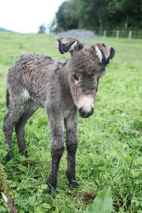Awwwww-newborn donkey foal - his ears are still curled from being packaged in a small space!