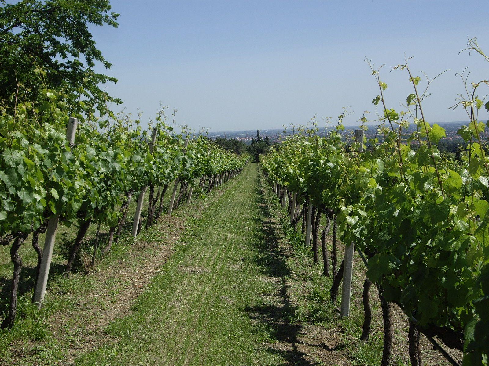 vines in springtime