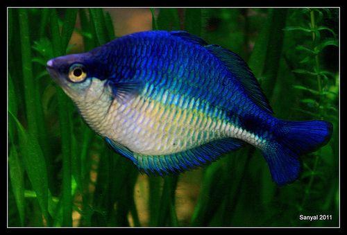 Turquoise rainbow melanotaenia lacustris rainbow fish for Freshwater rainbow fish