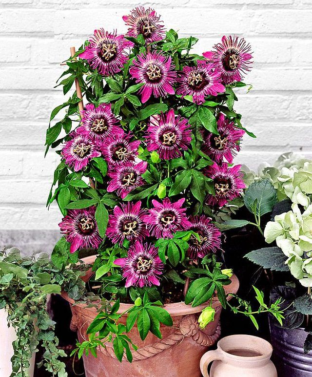 24 Best Vines For Containers Climbing Flowers Evergreen Climbing Plants Passion Flower