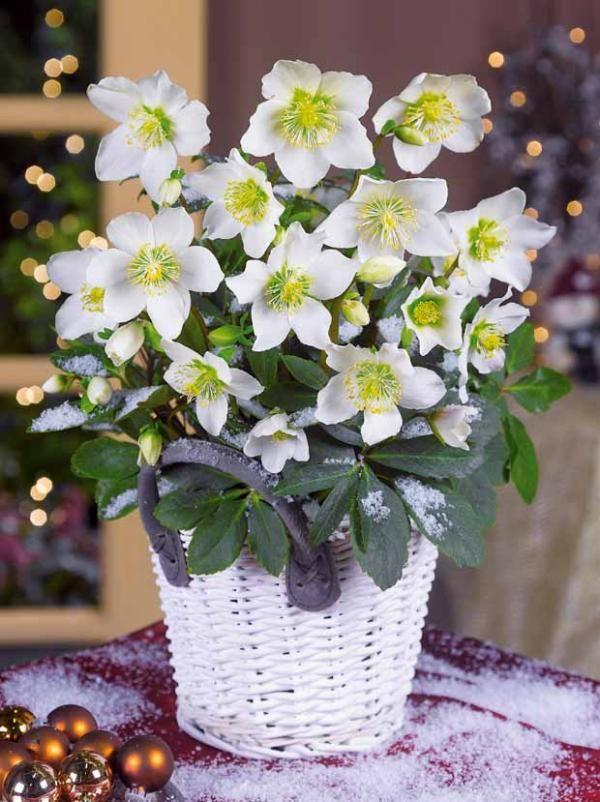 Rose De Noel Blanche Flowers Pinterest Flowers White Gardens