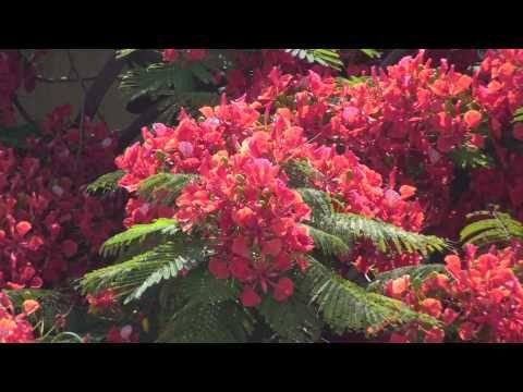 Saffron... Saffron... Everywhere... Gulmohar world's most colorful tree - YouTube