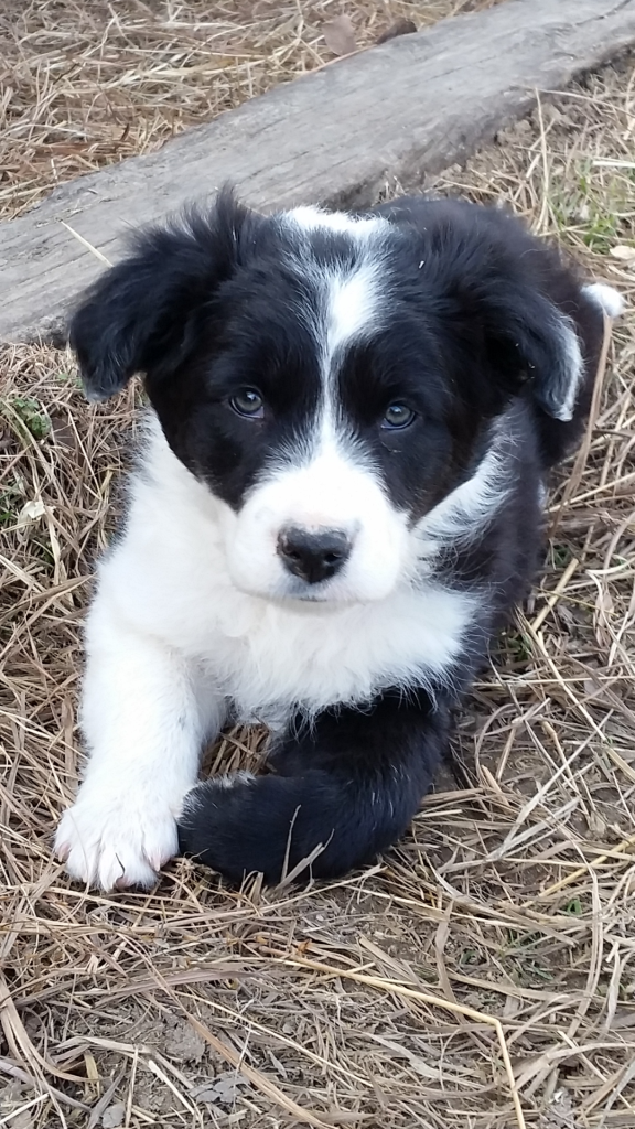 Bozeman 7 Weeks Border Collie Dogs Different Dogs