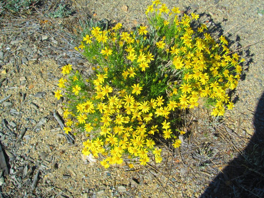 A Small Cluster Of Yellow Desert Daisies California Native Plants San Bernardino Mountains Spring Wildflowers