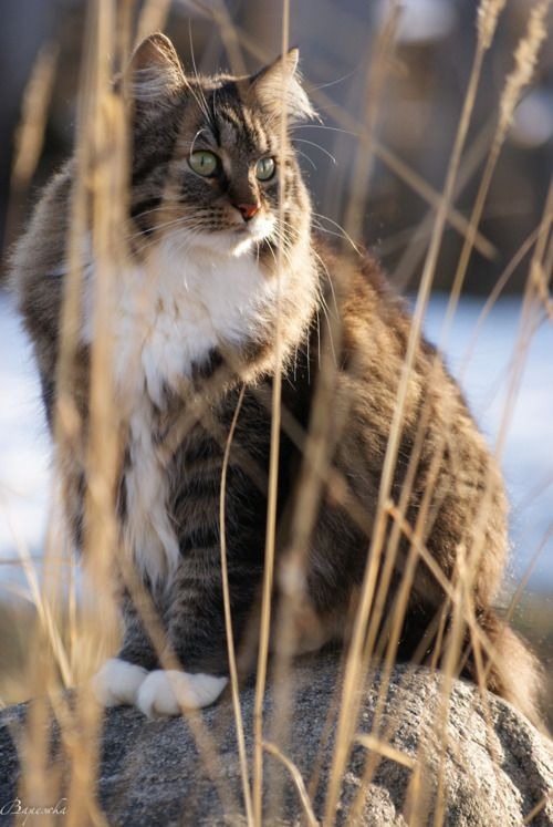 Fluffy Friends - Maine Coons