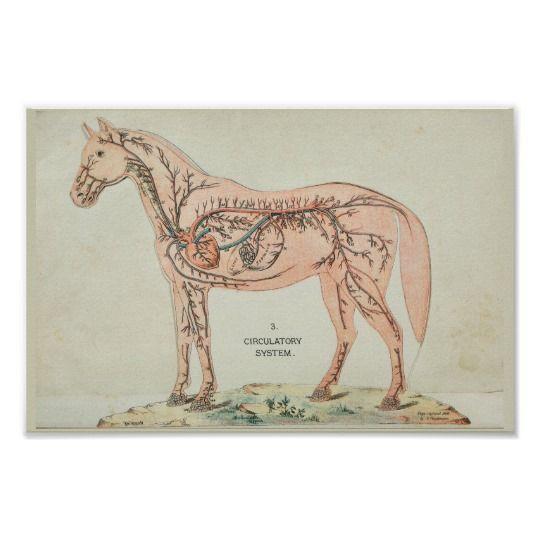 Horse Heart Arteries Veins Vintage Anatomy Print