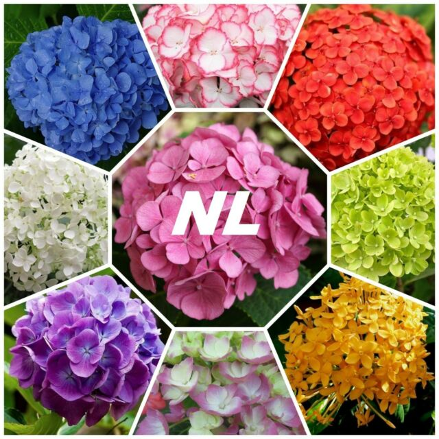 20pcs Hydrangeas Seeds Flower Mixed 11 Colors Garden Flower Floral Plant Seed For Sale Online Ebay In 2020 Hydrangea Seeds Flower Garden Fragrant Plant