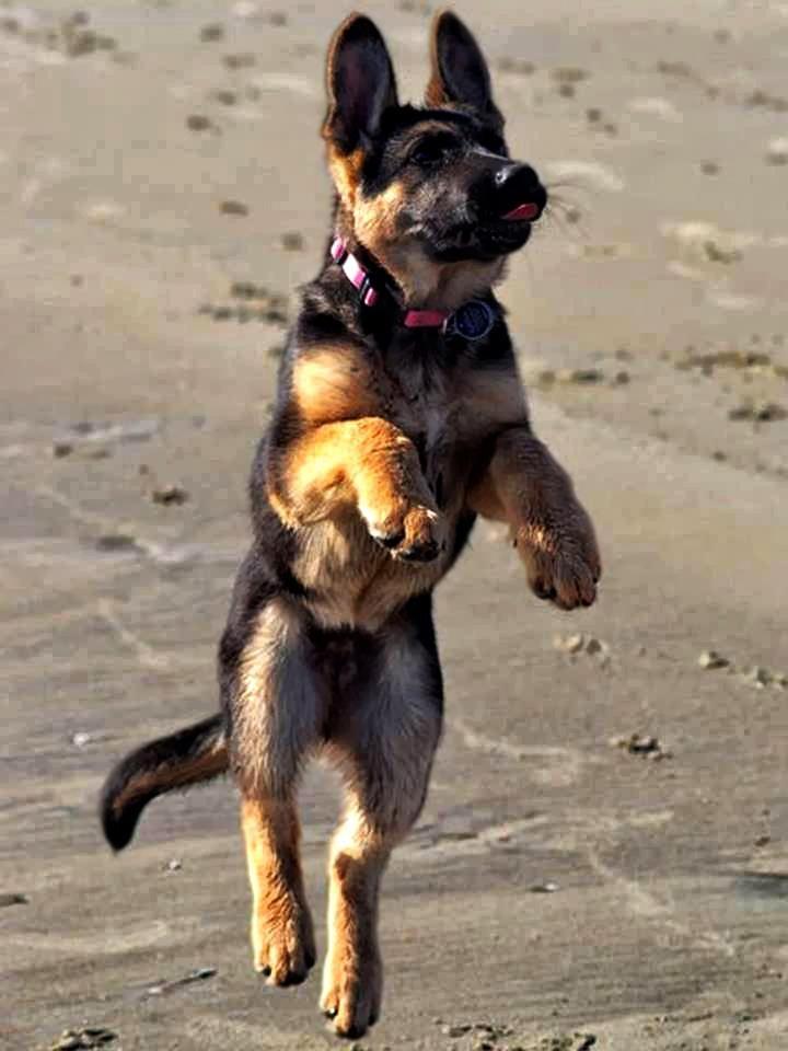 German Shepherd pup at the beach