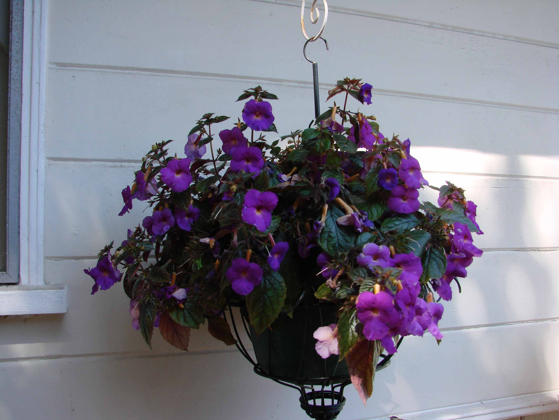 Achimenes Sweet Giant rhizome African violet kin