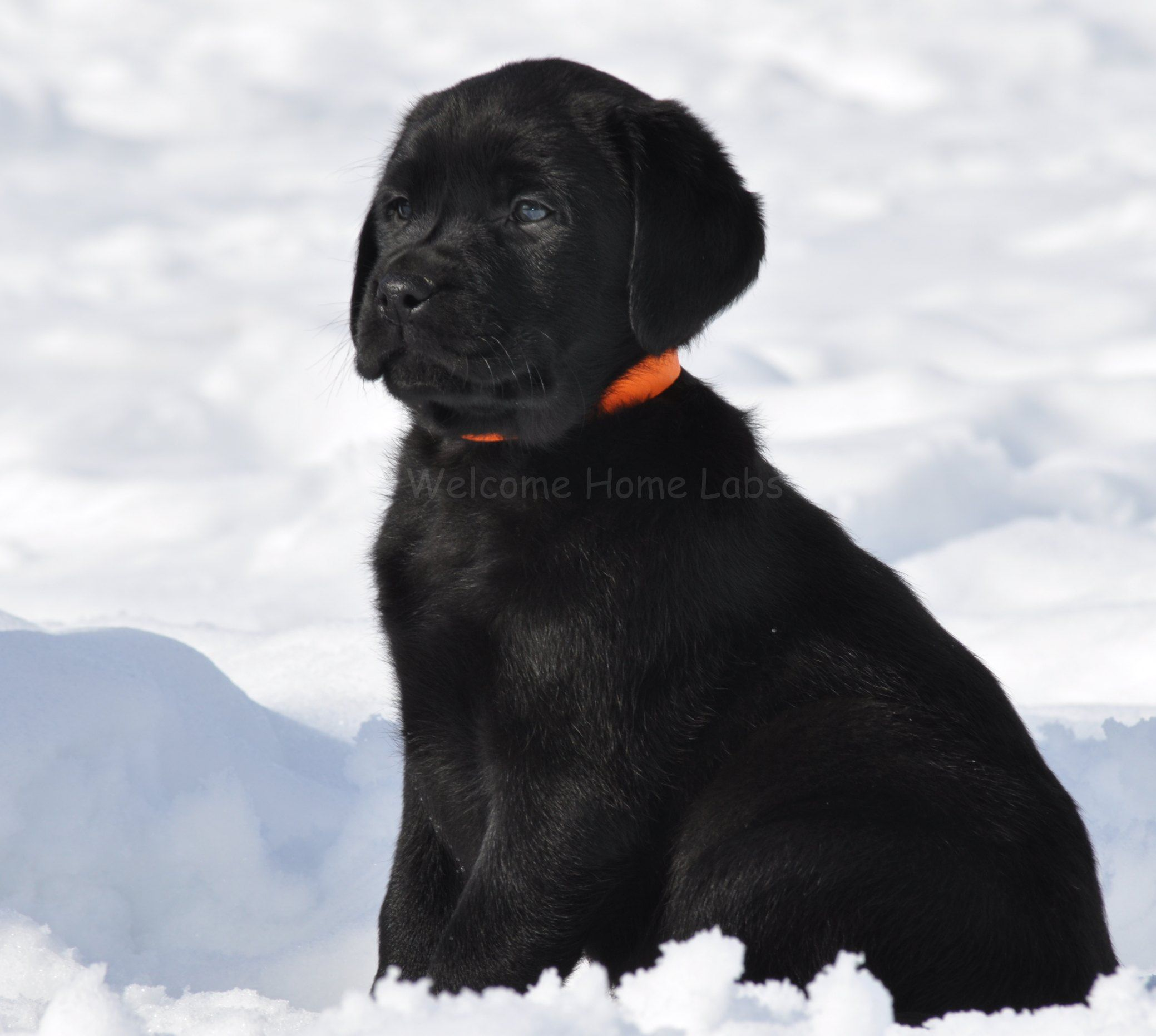 Black lab mn home labs located in minnesota