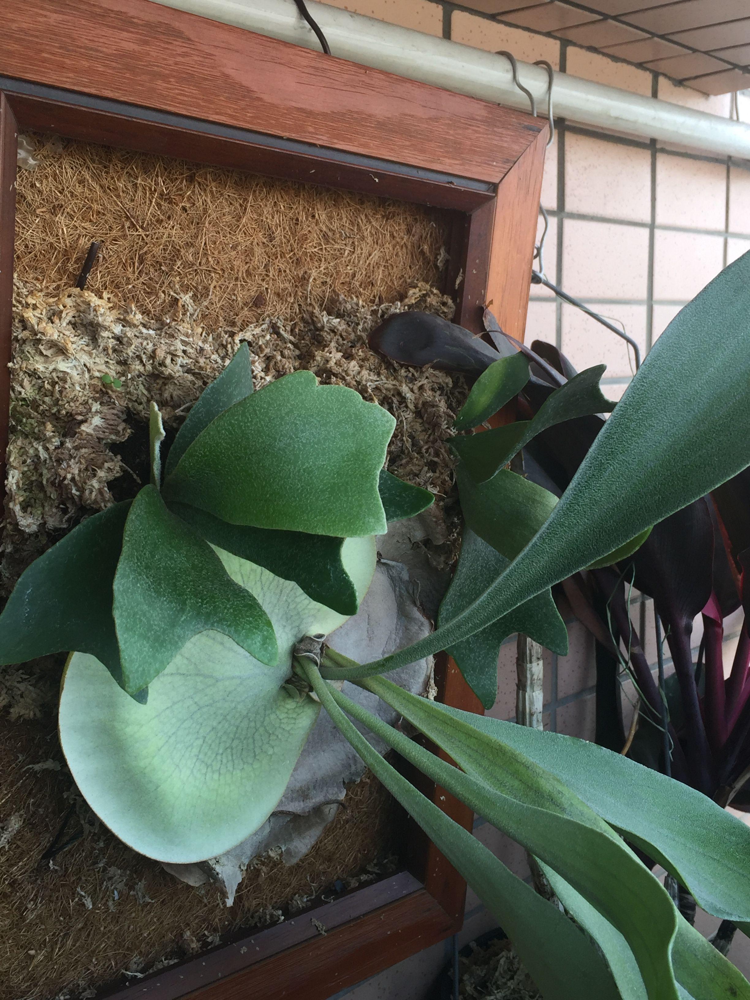 鹿角蕨上板3