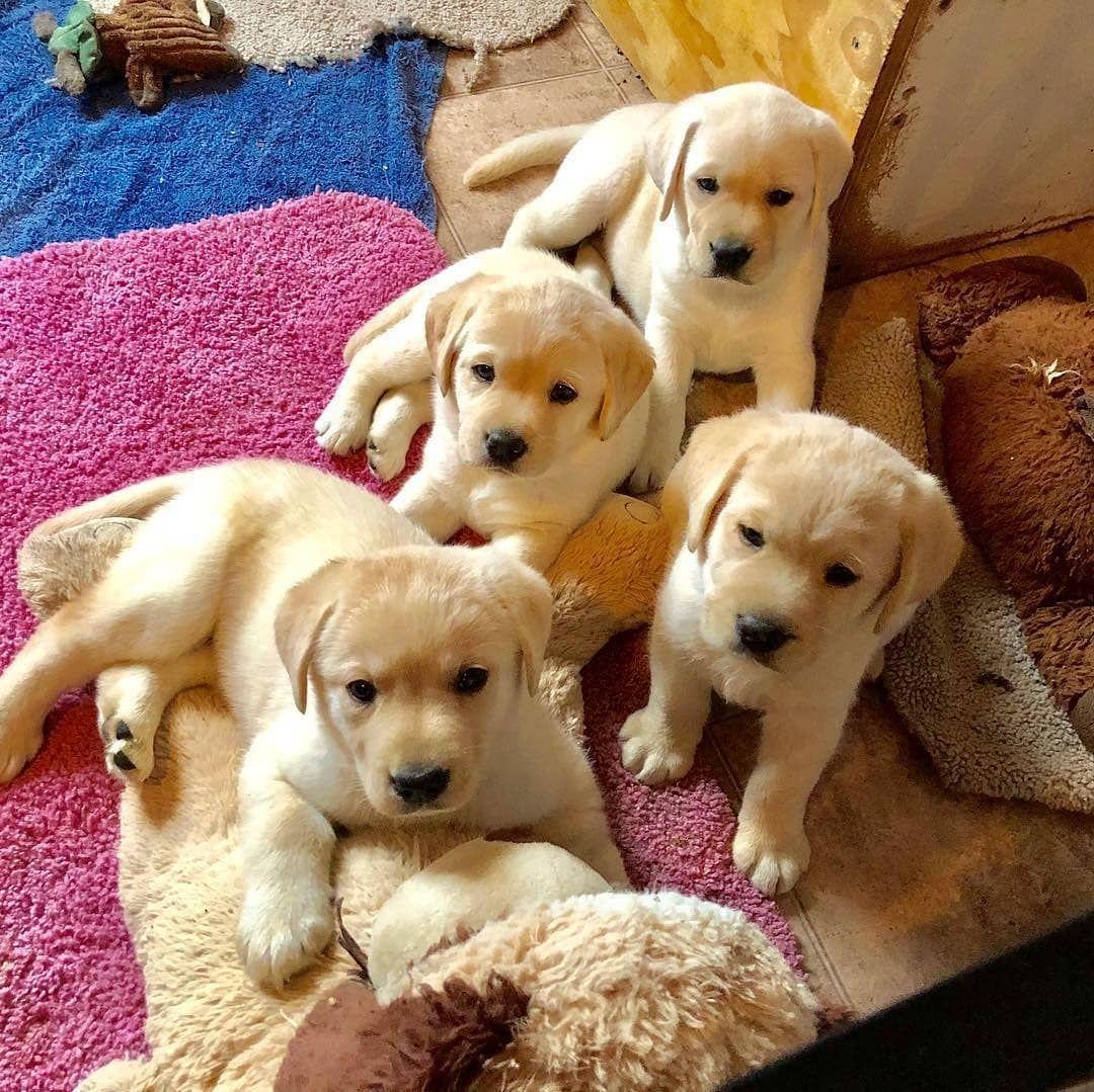 Labrador Central Labrador Retriever Labrador Labrador Retriever Puppies