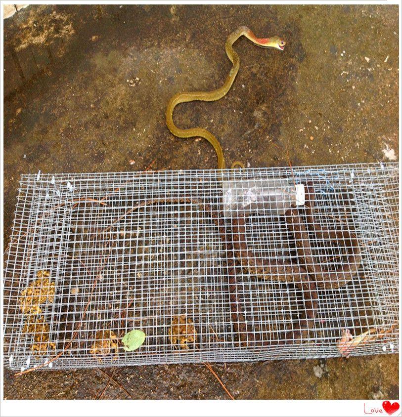 Catch live serpent pi ge serpent gabion serpent cage naja pi ge naja cage avec des prix bas et - Piege a serpent ...