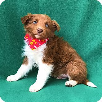 Burbank Ca Border Collie Meet Charger A Puppy For Adoption