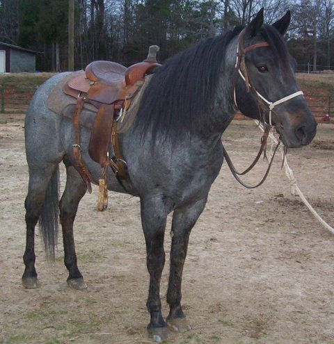 shorty is a 2002 blue roan stallion out of lazy