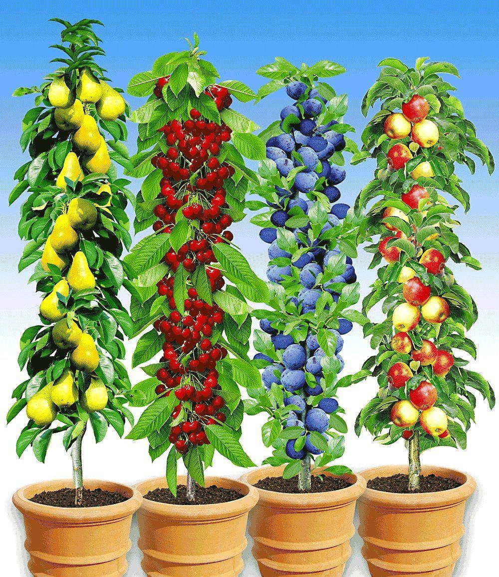 Säulen Obst Kollektion 4 Pflanzen