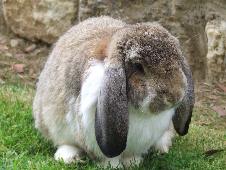 Adorable French Lop Bunny - from UncleMikesPetWorld ...