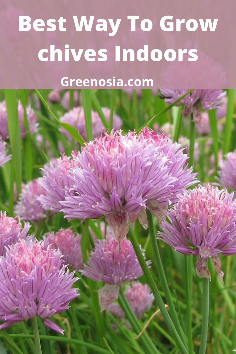 How To Grow Chives 10 Proven Tips The Gardening Dad Growing Chives Chives Plant Chives
