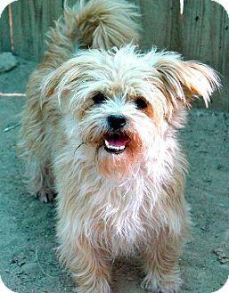 Memphis Tn Shih Tzu Mix Meet Cindy Lou A Dog For Adoption